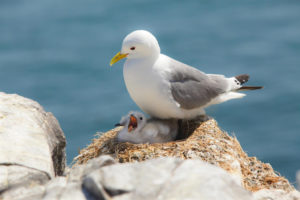 Populations of black-footed kittiwakes have declined nearly 80% since the 1980s. (RSPB photo)