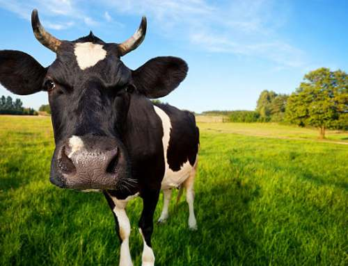 It's Cow Appreciation Day, let's think about our relationship with Cows
